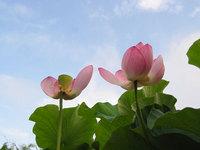 哀愁漂う蓮の花